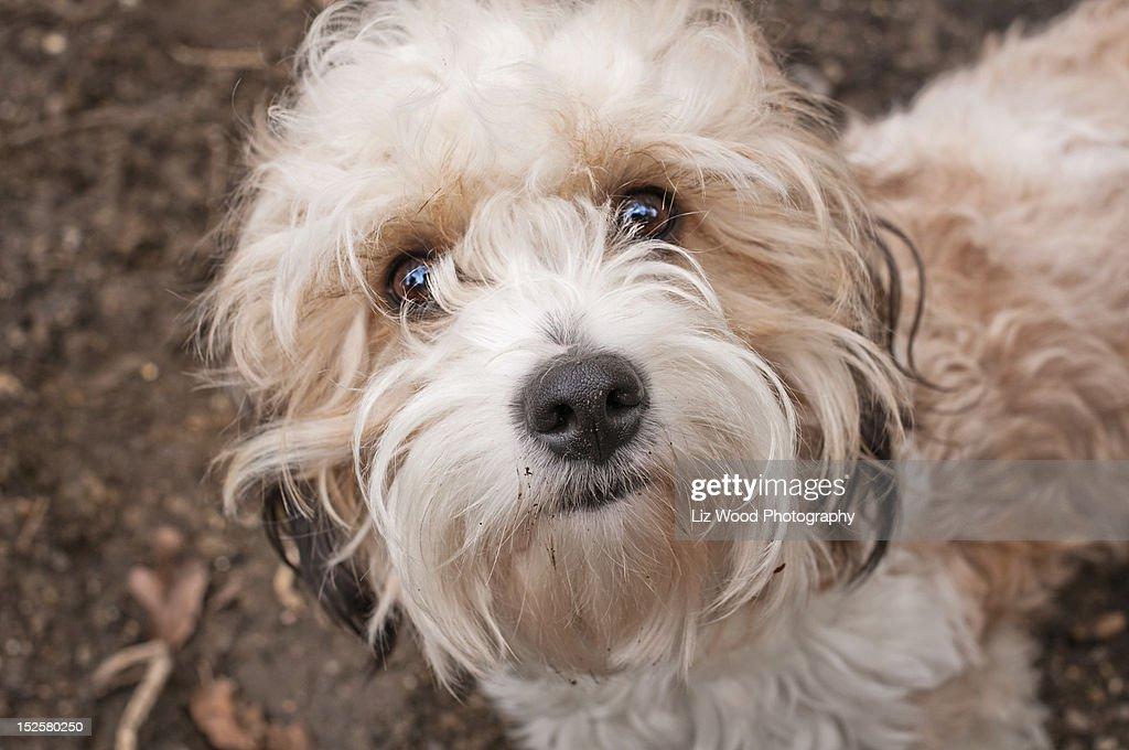 Cavapoo dog : Stock Photo