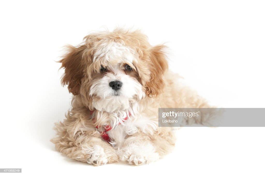 Cavapoo Puppy at 4 months : Stock Photo