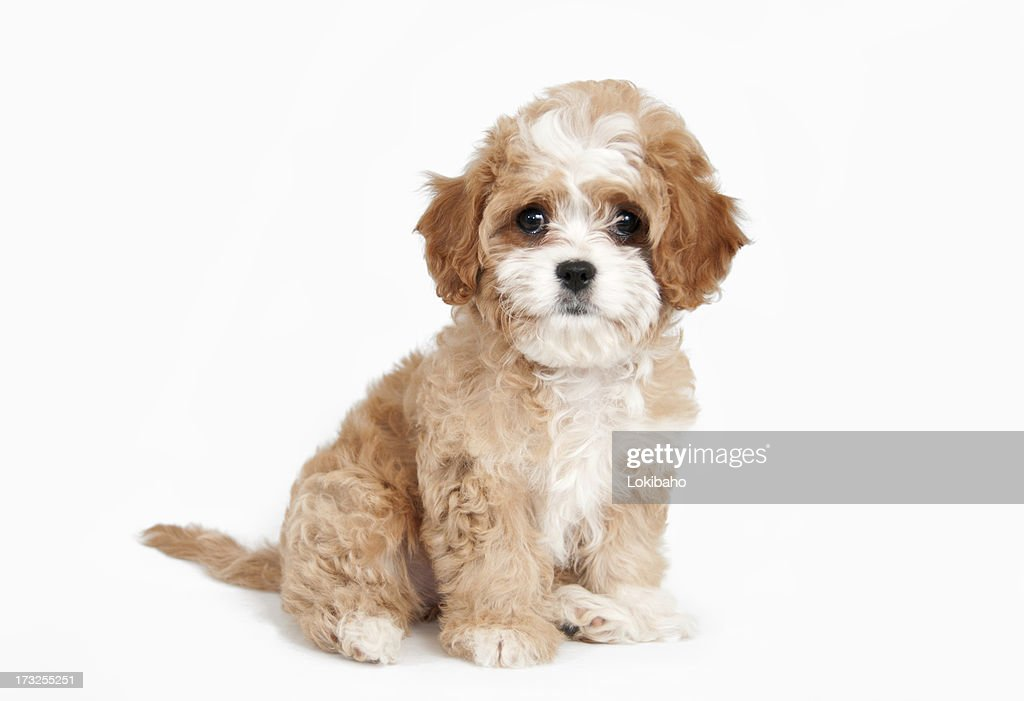 Cavapoo Puppy sitting : Stock Photo