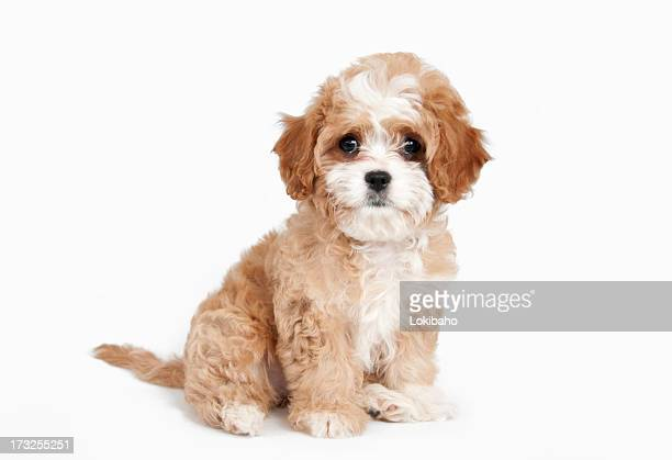 cavapoo puppy sitting - cavalier king charles spaniel stock pictures, royalty-free photos & images