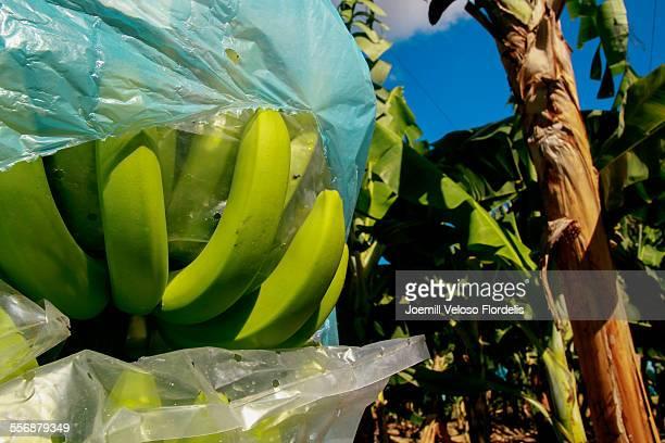 Cavendish Bananas in Farm: Asuncion, Philippines