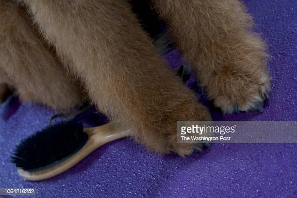 Cavi an 18 month Airedale Terrier at the National Dog Show in Oaks PA on November 17 2018 Now in its 17th year the National Dog Show features over...
