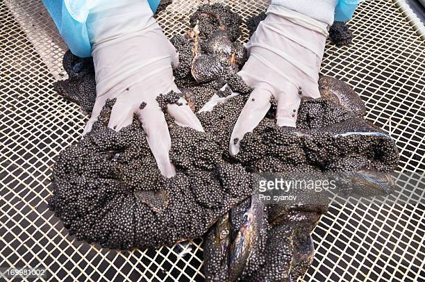 caviar. - sturgeon stock pictures, royalty-free photos & images