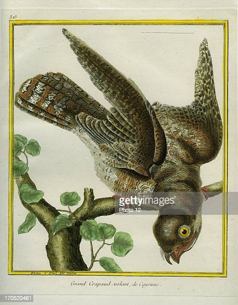 Cayenne Nightjar Caprimulgus maculosusCayenne NightjarGeorgesLouis Leclerc Comte of Buffon Natural History of birds fish insects and reptiles...