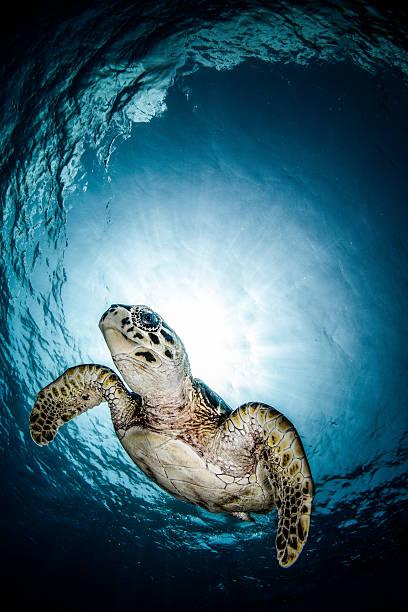 Cayman Sun ball turtle