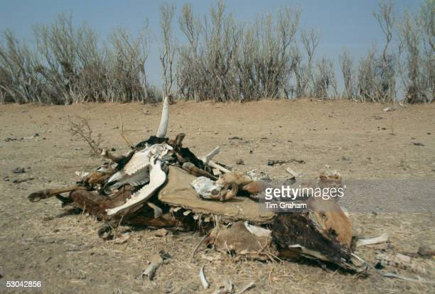 Ccarcasses of the bones of dead animals in the drought areas of Burkina Faso
