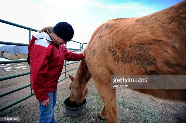 CDXXHORSES08f Stacey Couch office manager at the Colorado Horse Rescue in Longmont feeds grains and supplements to Scotch in her pen Scotch 19 was an...