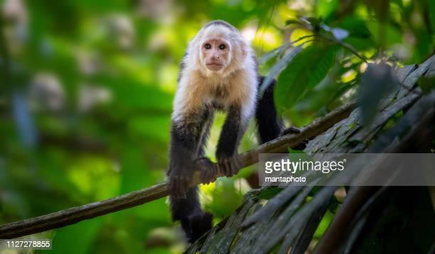 costa rica de mono cebus - mono capuchino fotografías e imágenes de stock