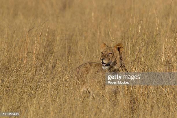 Cecil's Pride of Lions