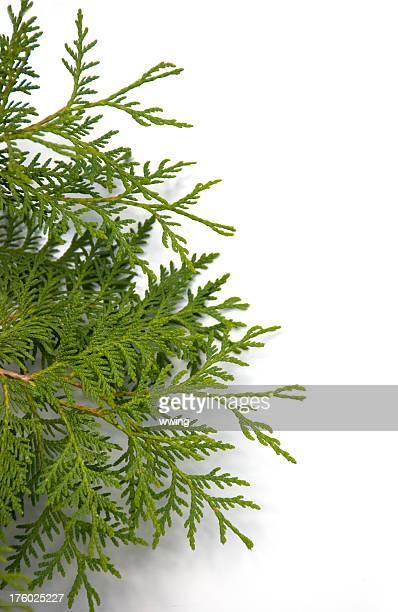cedar bough on white - cedar tree stock photos and pictures