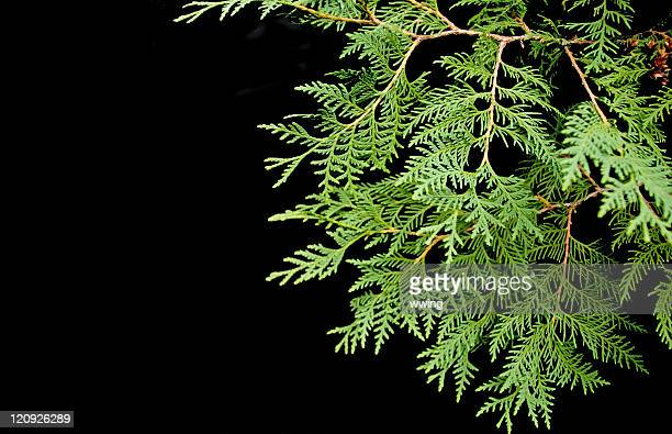 Cedar Boughs on Black