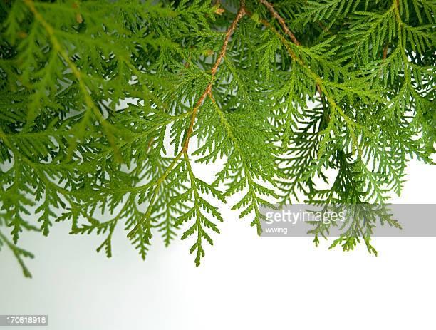 cedar boughs on white - cedar tree stock photos and pictures