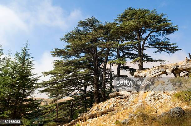 cedar forest in lebanon near bcharre - lebanon stock photos and pictures