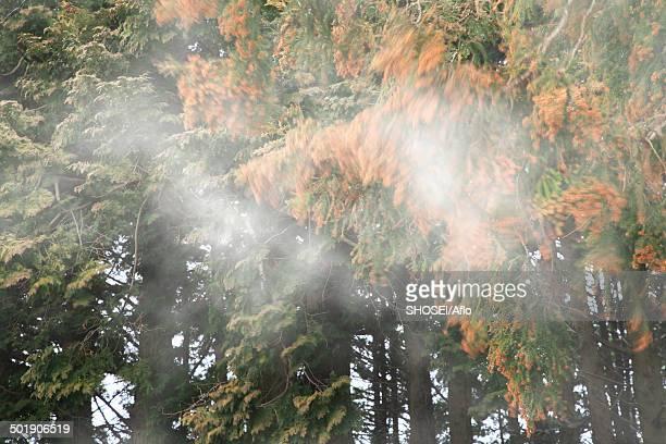 cedar forest - 花粉 ストックフォトと画像