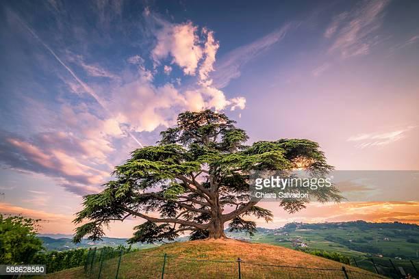 A cedar of lebanon on the hill near La Morra, Italy