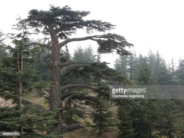 cedar of lebanon (cedar of god) - argenberg stock pictures, royalty-free photos & images