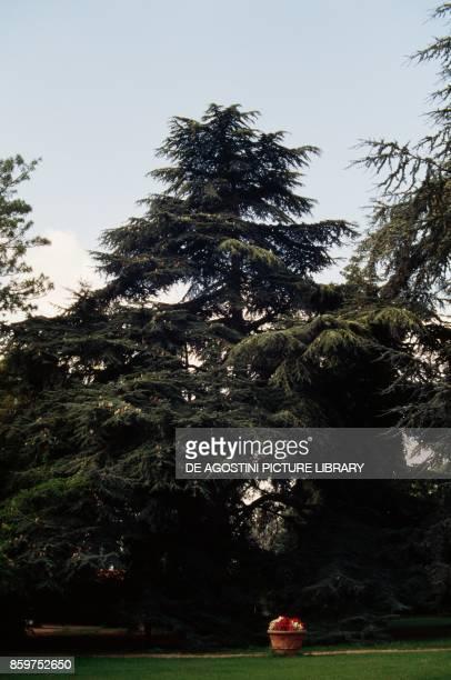 Cedar of Lebanon , Pinacee.