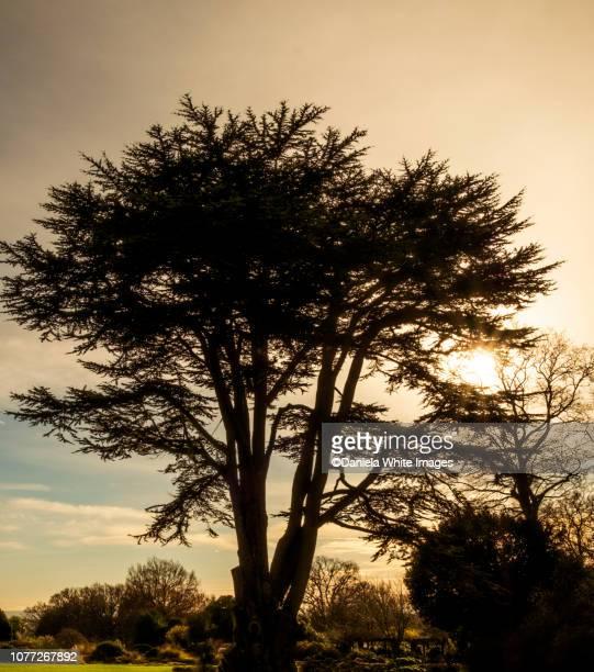 cedar of lebanon tree - zeder stock-fotos und bilder