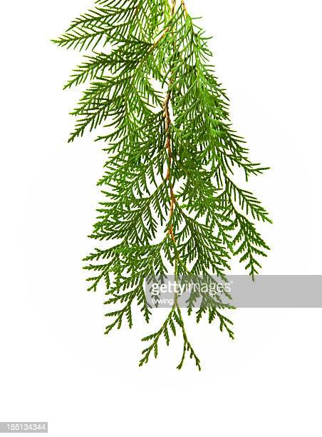 Cedar sobre blanco
