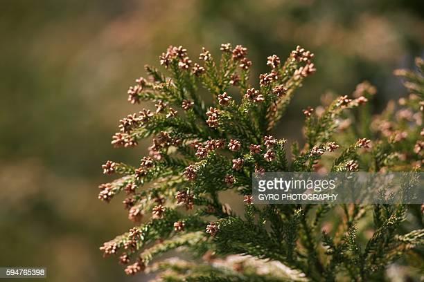 Cedar Pollen, Wakayama Prefecture, Japan.