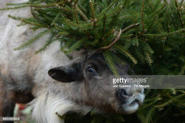 Cedar the reindeer brushes up against a christmas tree at ZSL Whipsnade Zoo in Dunstable Bedfordshire