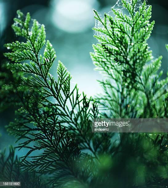 cedar tree branches - zeder stock-fotos und bilder