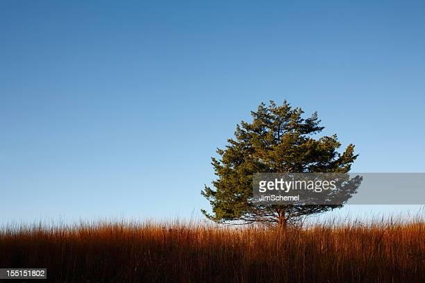 cedar tree - zeder stock-fotos und bilder