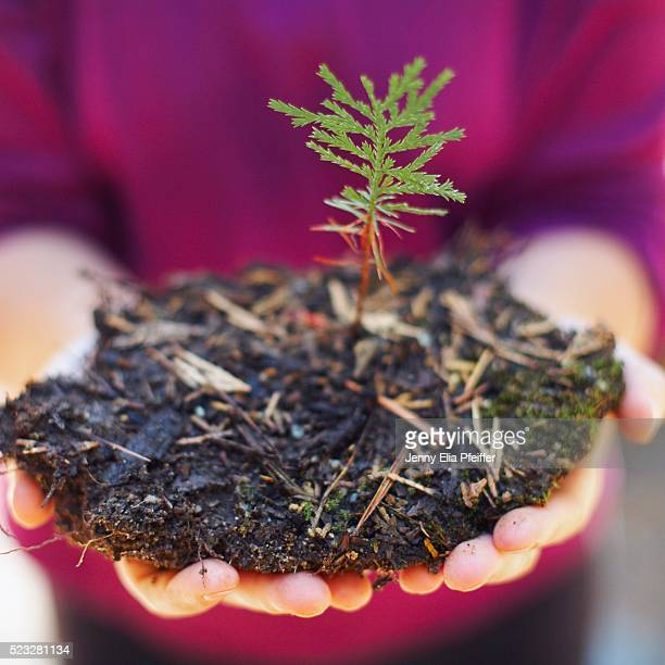 Cedar tree sapling