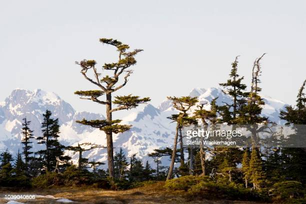 cedar trees in evening light, mountains behind, pacific coast, chugach national forest, prince william sound, alaska, usa - chugach state park stock pictures, royalty-free photos & images