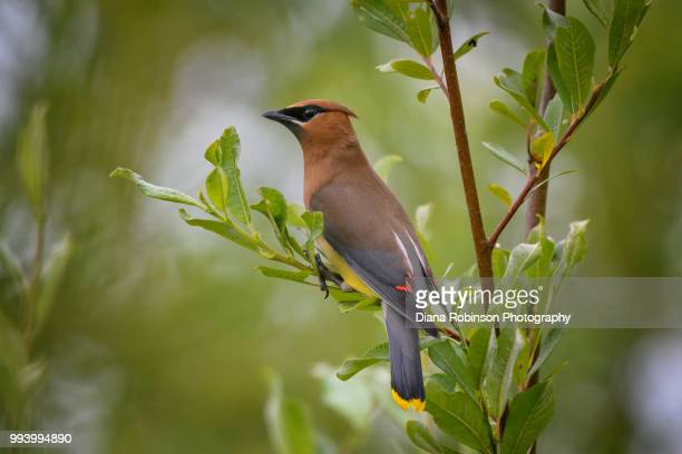cedar waxwing at lowell riverside trail on the lowell river, everett, washington state - everett washington state stock pictures, royalty-free photos & images