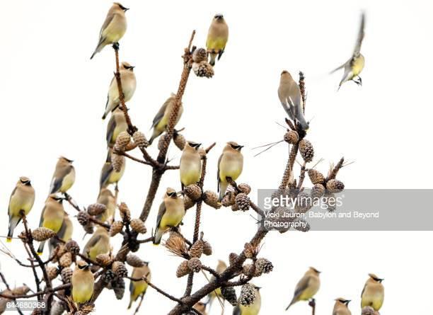 Cedar Waxwing Flock (Bombycilla cedrorum) Perched in Tree at Fire Island