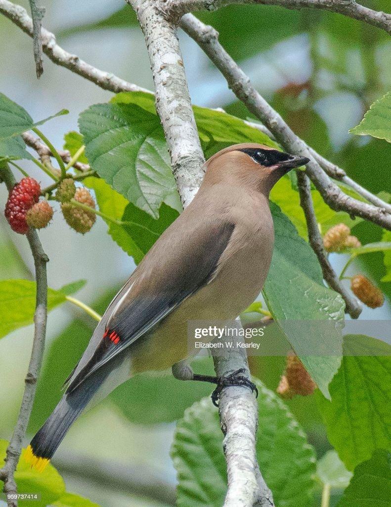 Cedar Waxwing in a Mulberry Tree : Stock-Foto