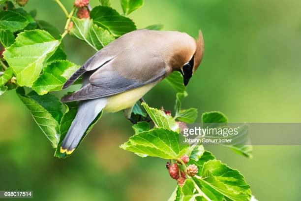 cedar waxwing in mulberry tree - mulberry tree stock pictures, royalty-free photos & images