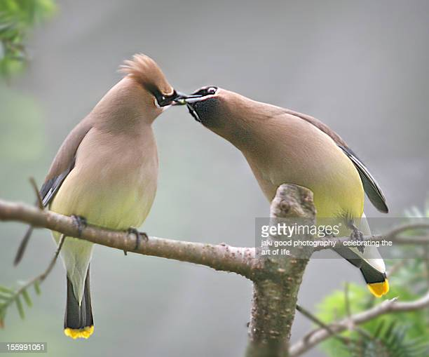 cedar waxwing liplock - kissing on the mouth stock photos and pictures