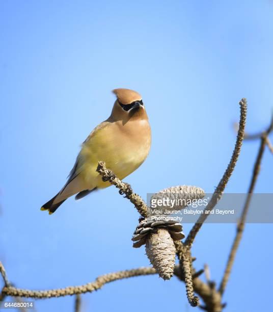 Cedar Waxwing (Bombycilla cedrorum) Portrait Against Blue Sky