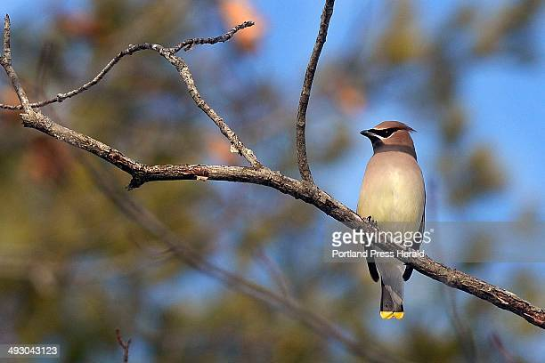 A Cedar Waxwing sits on a branch in the sun in the woods at Ferry Beach State Park in Saco Saturday Dec 28 2013