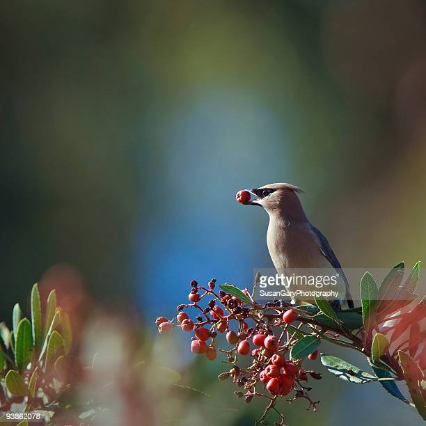 Cedar Waxwing With Berry in Mouth