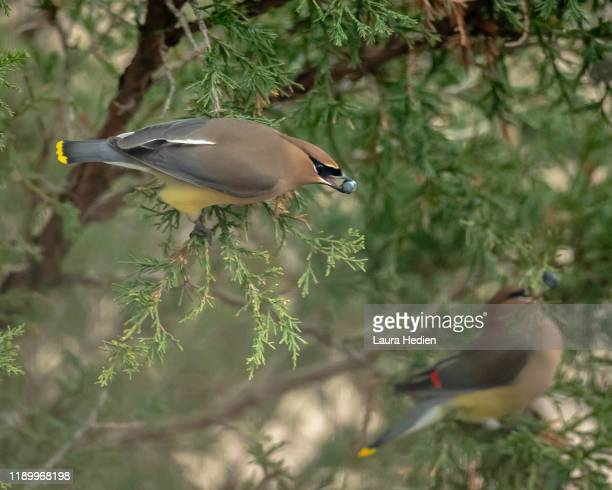 cedar waxwings eating - songbird stock pictures, royalty-free photos & images