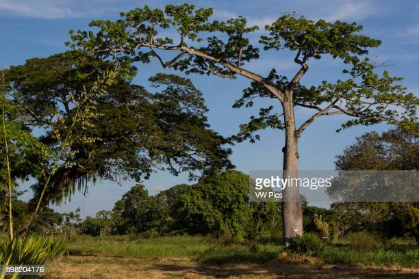 Ceiba is the name of a genus of many species of large trees found in tropical areas including Mexico Central America South America the Caribbean West...
