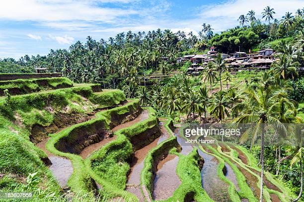 Ceking rice terraces, Ubud, Bali