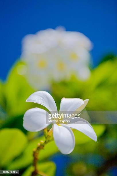 celadine plumeria flower. - merten snijders stockfoto's en -beelden