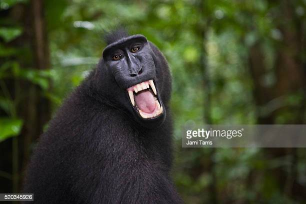 Celebes crested macaque baring his fangs in warning