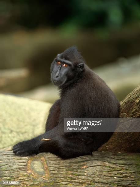 Celebes crested macaque / black ape