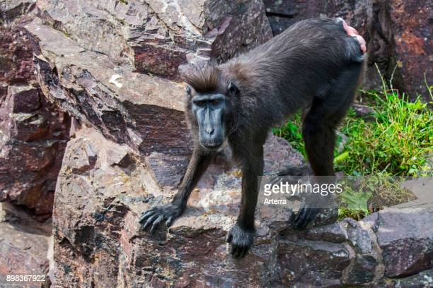 Celebes crested macaque / crested black macaque / Sulawesi crested macaque / black ape female native to Sulawesi