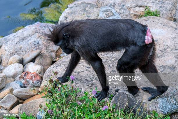 Celebes crested macaque / crested black macaque / Sulawesi crested macaque / black ape receptive female showing red swollen buttocks