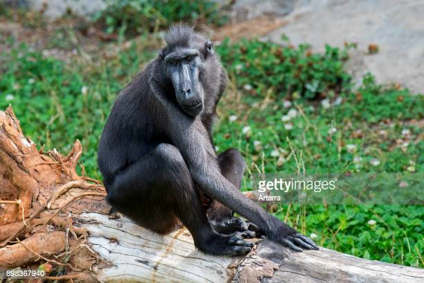 Celebes crested macaque / crested black macaque / Sulawesi crested macaque / black ape native to the Indonesian island of Sulawesi
