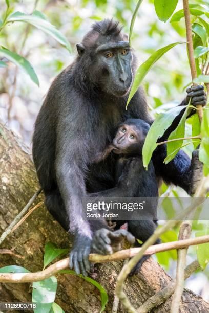 celebes crested macaque (macaca nigra), dam suckling young animal, tangkoko national park, sulawesi, indonesia - sulawesi fotografías e imágenes de stock