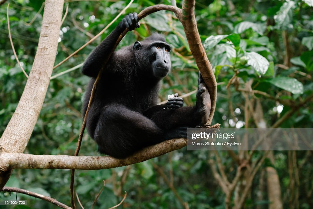 Celebes Crested Macaque In Tangkoko National Park : Stock Photo
