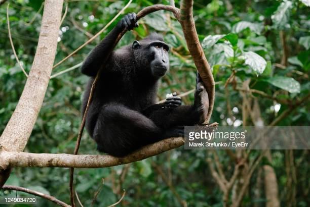 celebes crested macaque in tangkoko national park - marek stefunko stock pictures, royalty-free photos & images