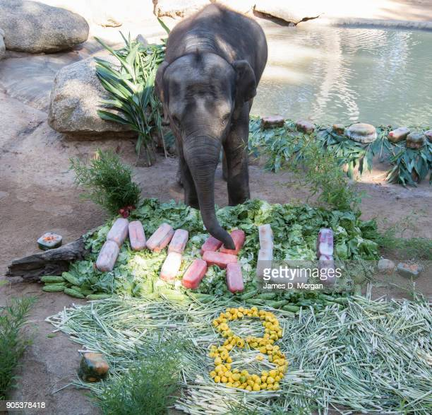 Celebrating her eighth birthday Mali with a variety of fruit and vegetables served a birthday treat at Melbourne Zoo on January 16 2018 in Melbourne...